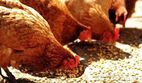 Разведение кур, несушек, в домашних условиях, выгодная бизнес идея, в деревни с нуля
